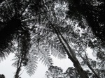 Fern trees in Dandenong Ranges