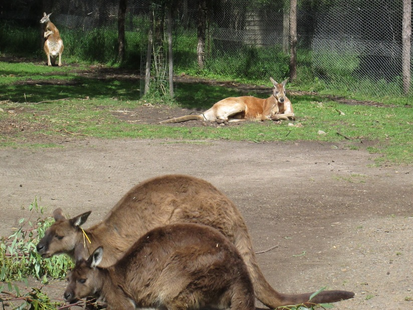 Kangaroos. Just after we saw them in the Healesville Sanctuary, we saw them wild, out in the fields and yards.  Apparently, kangaroos are as common, and as much of a traffic nuisance, as deer are here. (photo: aka gringita, 2014)