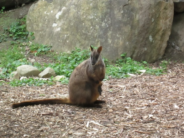 Wallaby and baby (photo: aka gringita, 2014)